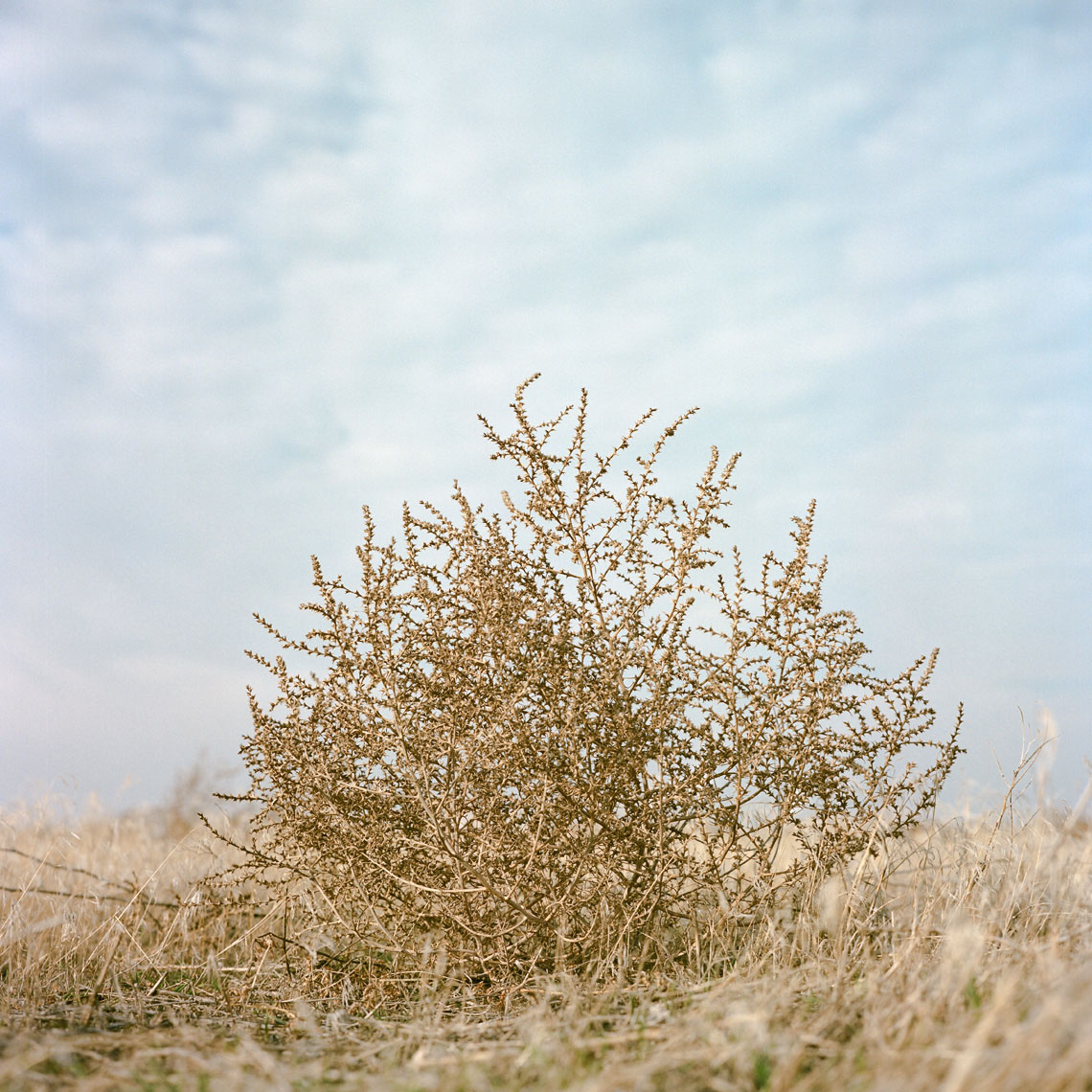 Portrait of a Tumble Weed  - 8505#08